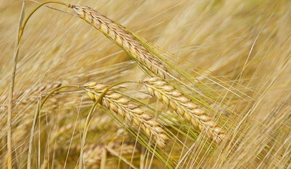 Barley_Culitvation_Disinfection.jpg