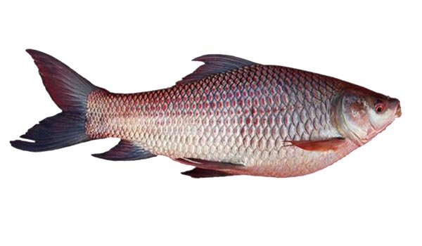 Catla_Fish_Farming_Disinfection.jpg
