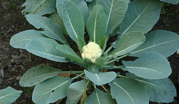 Cauliflower_Cultivation_Disinfection-.jpg