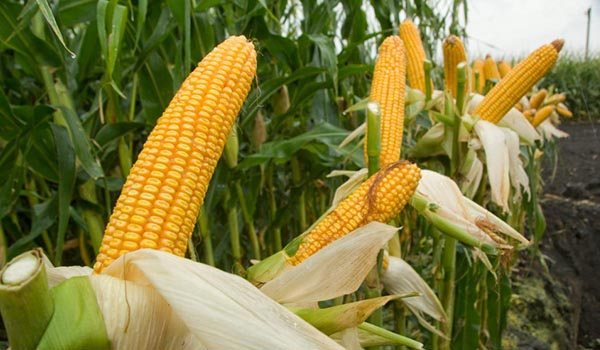 Corn_Cultivation_Disinfection.jpg