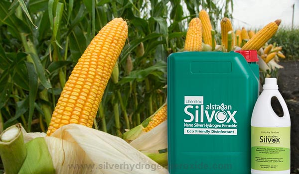 Corn_Cultivation_Disinfection1.jpg