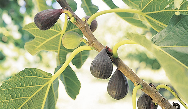 Fig_Cultivation_Disinfection1.jpg