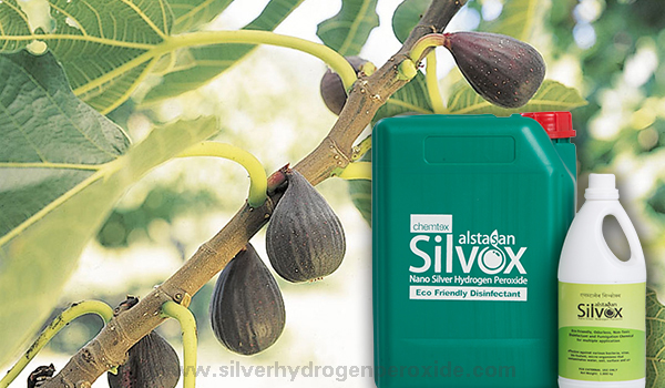 Fig_Cultivation_Disinfection11.jpg