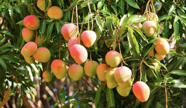 Mango_Cultivation_Disinfection1.jpg