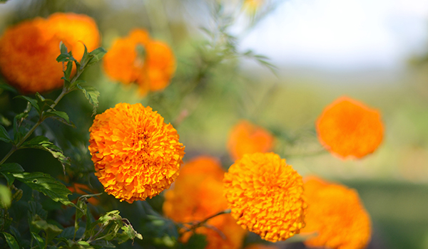 Marigold_Cultivation_Disinfection1.jpg