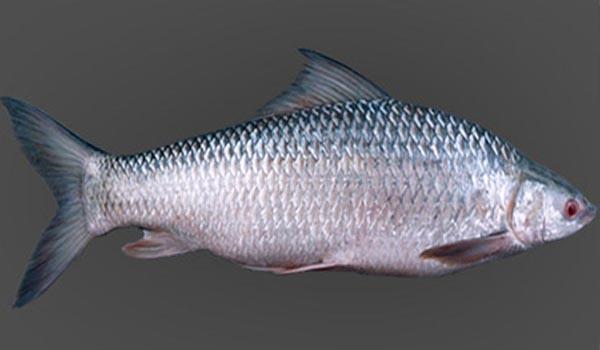 Mrigal_Fish_Farming_Disinfection.jpg
