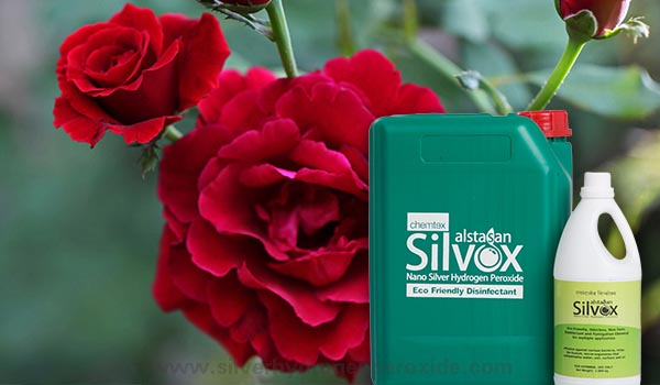 Rose_Cultivation_Disinfection1.jpg
