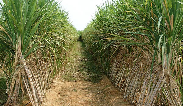 Sugarcane_Cultivation_Disinfection.jpg