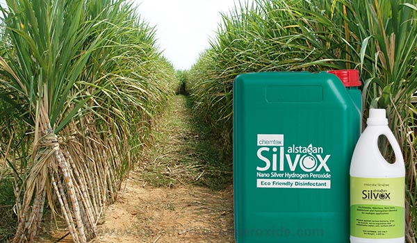 Sugarcane_Cultivation_Disinfection1.jpg