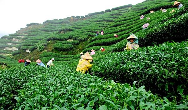 Tea_Plantation_Sanitation.jpg