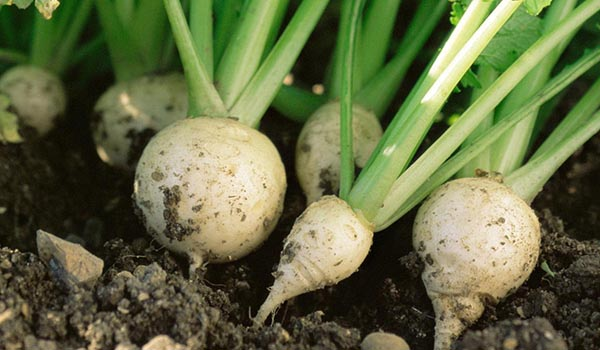 Turnip_Cultivation_Disinfection.jpg